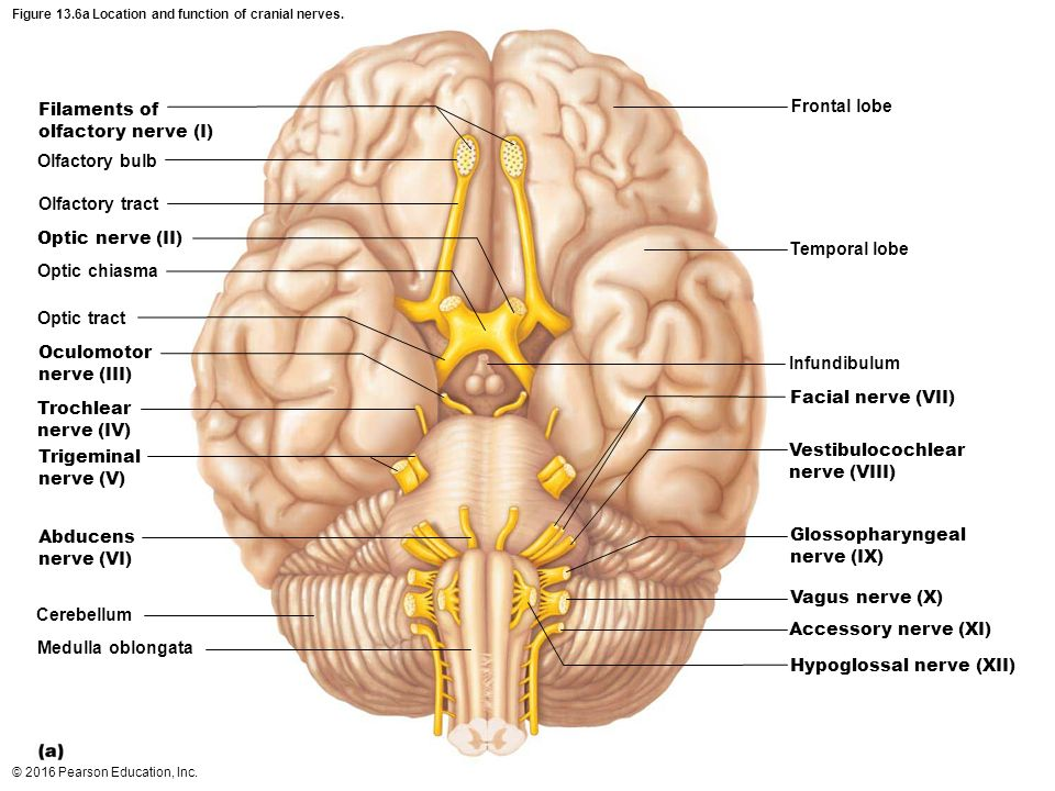 Exelent Gross Anatomy Of The Brain And Cranial Nerves Worksheet ...