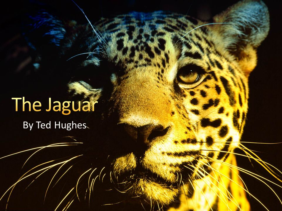 the jaguar ted hughes commentary Wind by ted hughes analysis the jaguar by ted hughes your testimonials haven't found the essay you want get your custom essay sample for only $1390/page.
