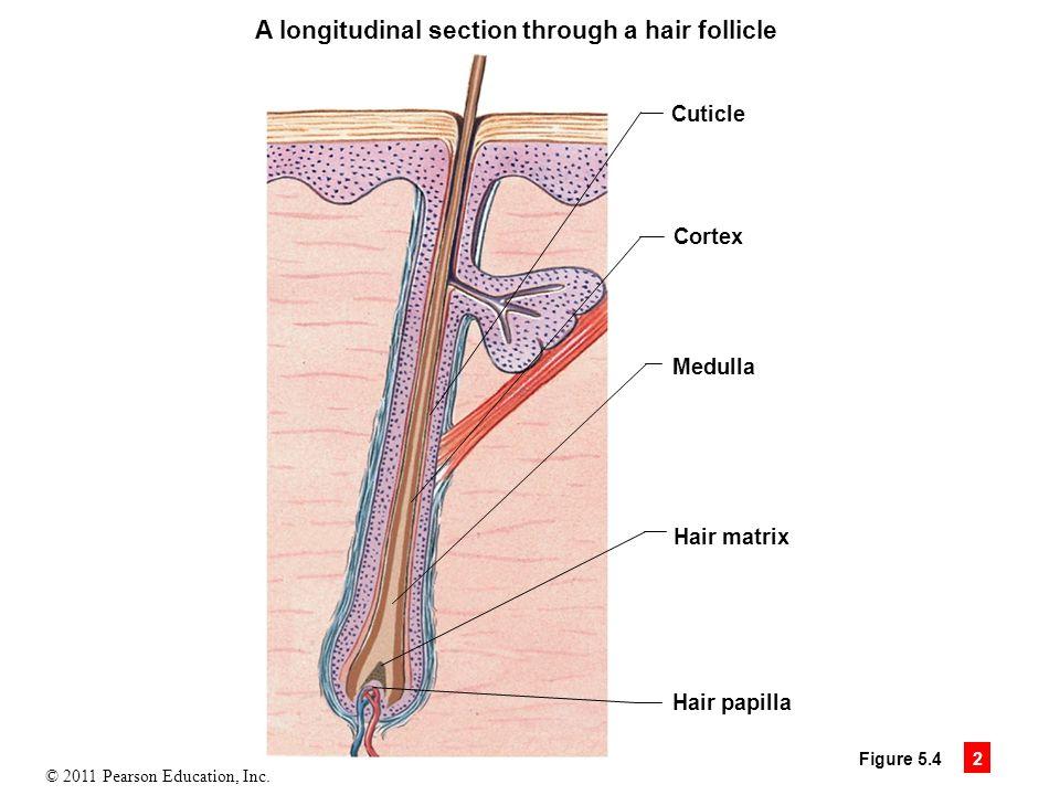 Awesome Anatomy Of Hair Follicle Mold - Human Anatomy Images ...