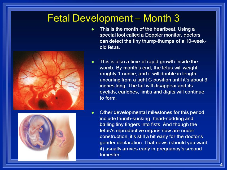 the developmental stages of a fetus Visit this site for a summary of the stages of pregnancy, as experienced by the mother, and view the stages of development of the fetus throughout gestation at what point in fetal development can a regular heartbeat be detected.