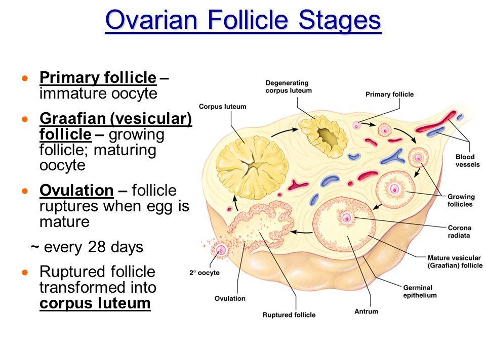Vesicular Follicle Chapter 16 The Reprodu...