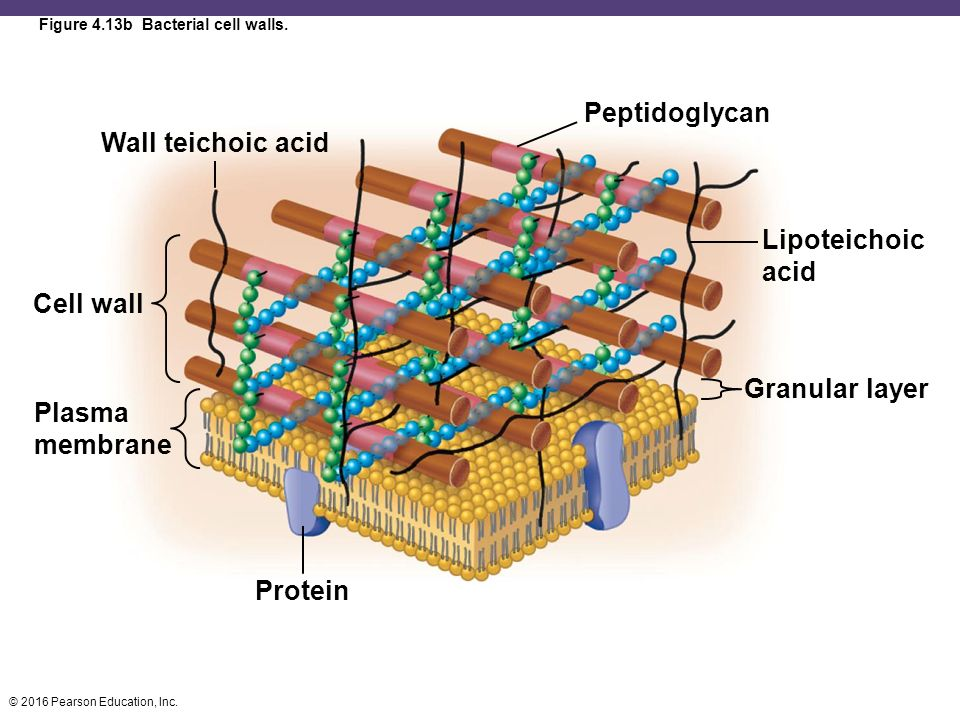 Functional Anatomy of Prokaryotic and Eukaryotic Cells ... | 960 x 720 jpeg 86kB
