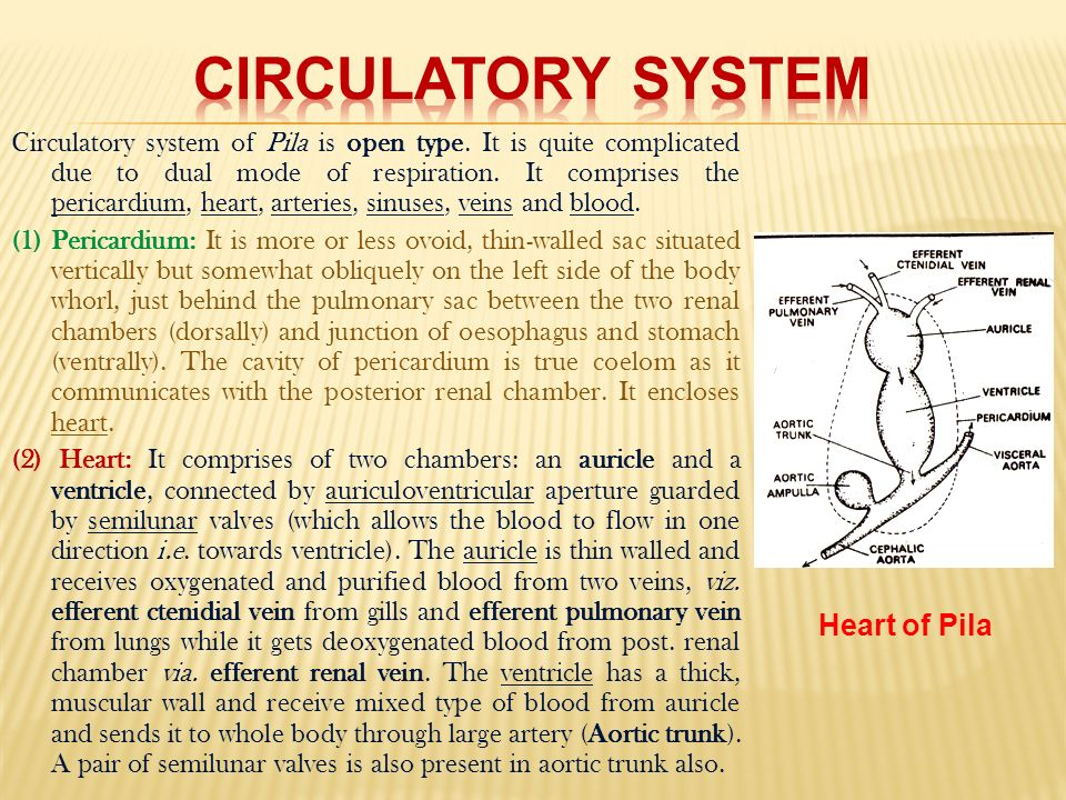 Pila globosa the apple snail ppt download circulatory system heart of pila ccuart Image collections