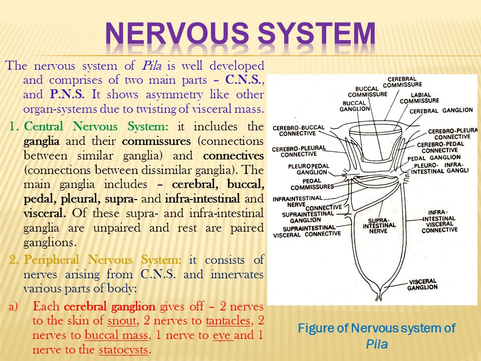 Pila globosa the apple snail ppt download figure of nervous system of pila ccuart Image collections