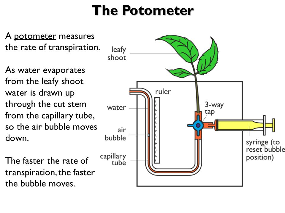 investigating rate of transpiration The rate of transpiration is affected by a number of environmental  in this lab you will be investigating the effects of different environmental factors on the.