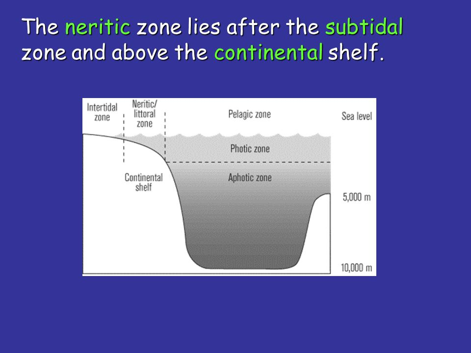 The neritic zone lies after the subtidal zone and above the continental shelf.