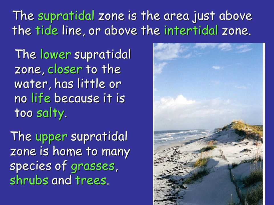 The supratidal zone is the area just above the tide line, or above the intertidal zone.
