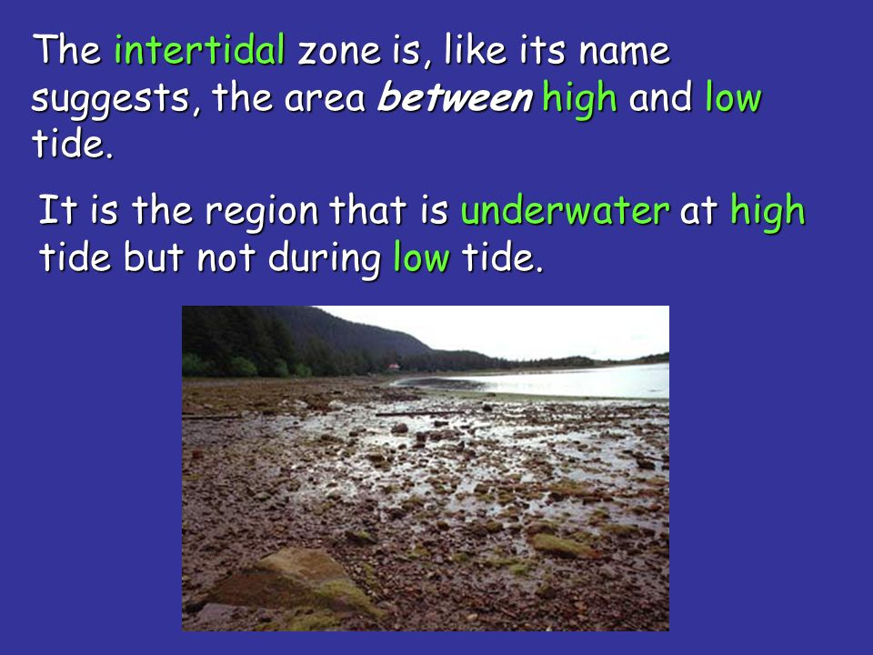 The intertidal zone is, like its name suggests, the area between high and low tide.