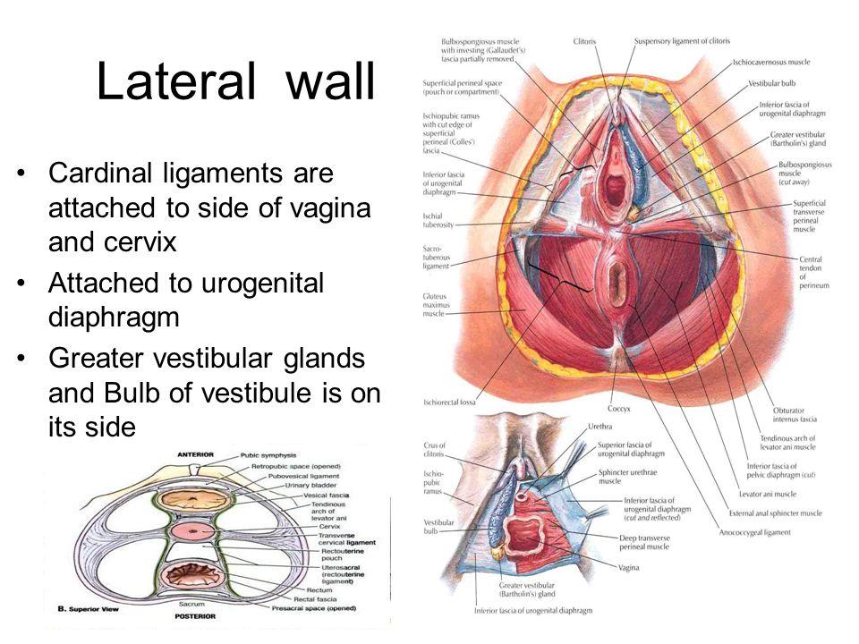 Tolle Anatomie Vegina Fotos - Anatomie Von Menschlichen ...
