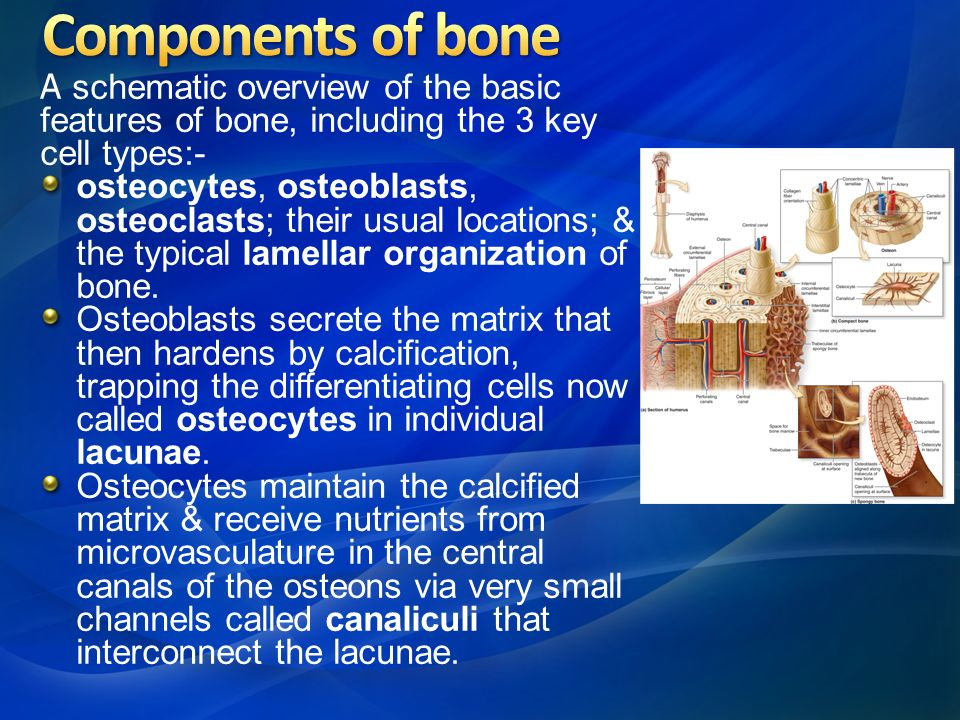 describe the cells and the key components of bones Structure and functions of blood, including red blood cells, white blood cells these components are then transported by the blood to the liver where the iron is re-cycled for the 'b' indicates 'bone marrow' cells both t-cells and b-cells: (1) destroy antigens, and (2) produce 'memory.