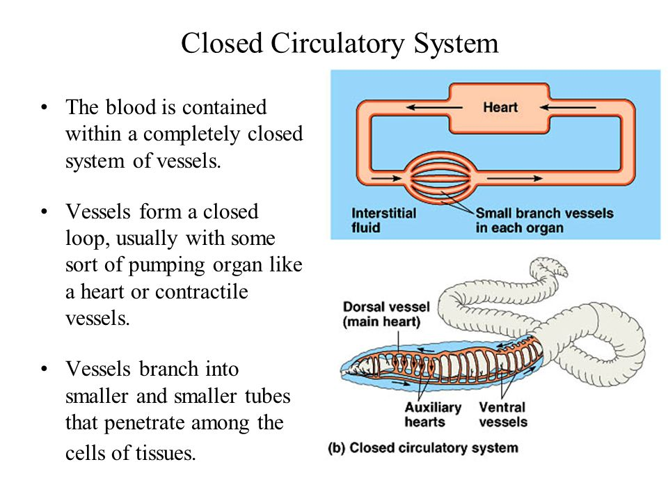 closed circulatory system The circulatory system circulates blood by pulmonary and systemic circuits these pathways transport blood between the heart and the rest of the body.