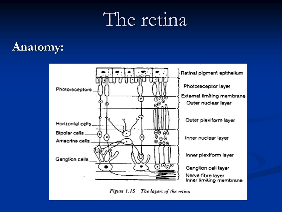 The retina Anatomy:. - ppt video online download