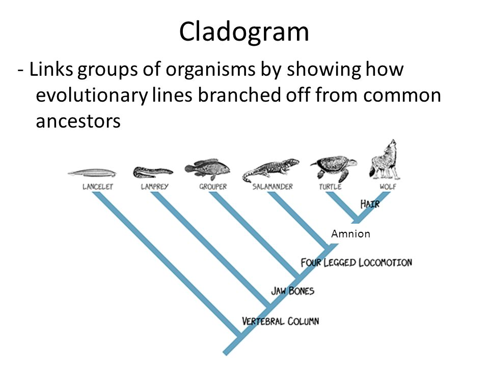 Cladogram practice worksheet