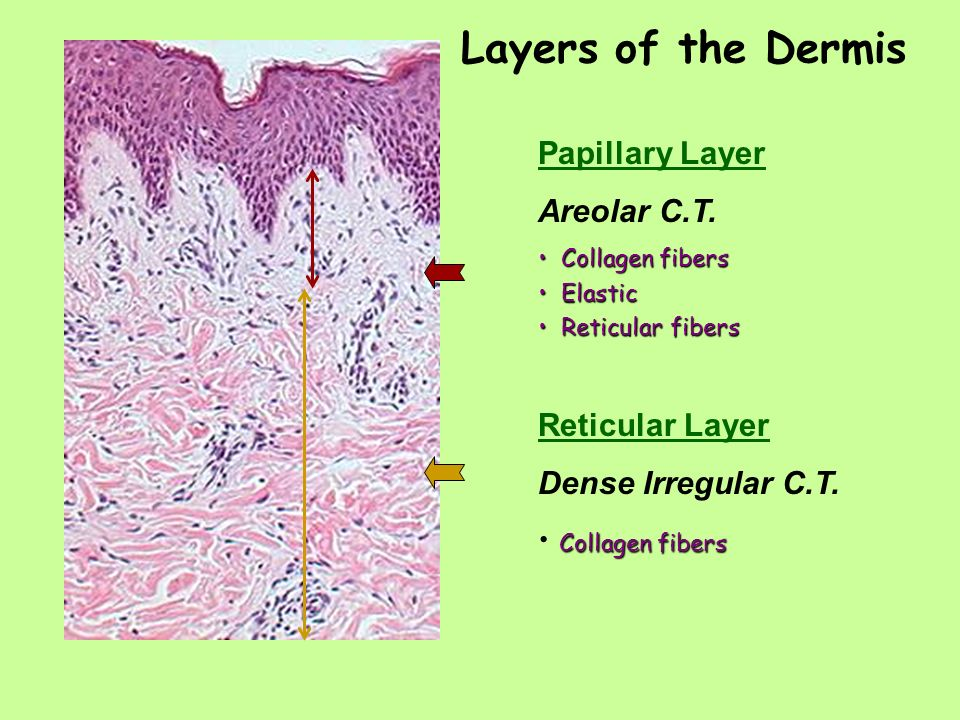 Week 13 The Integumentary System Ppt Video Online Download