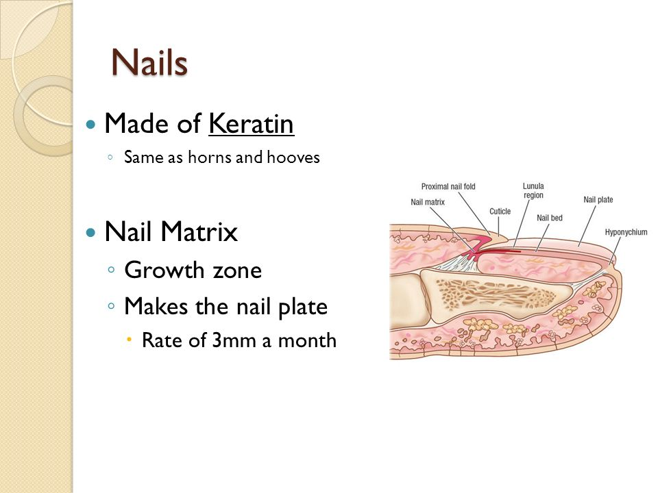 Structure of the Skin Tackmann A & P. - ppt video online download
