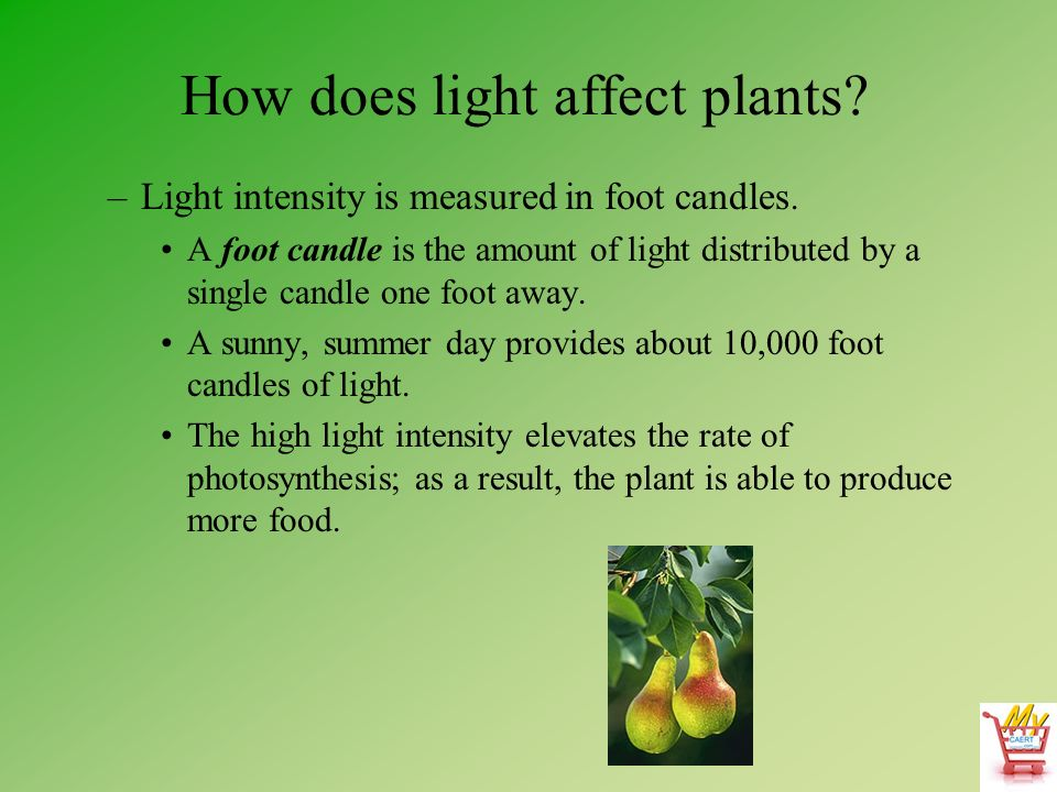 plant and light intensity Plants have differing requirements for light intensity some perform best under high light levels, while other plants prefer lower levels high light intensity is considered to be 1000 or more foot-candles, medium is 500 to 1000 and low is 50 to 500.