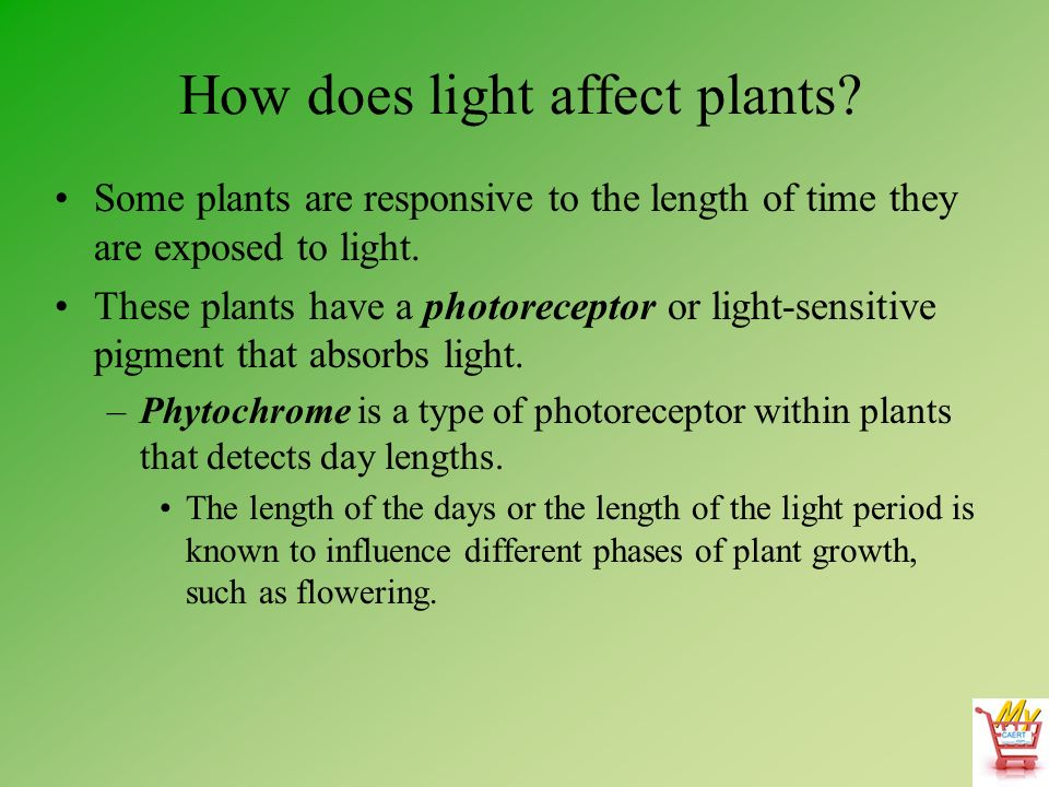 how does light affect the rate Biology - how light intensity affects the rate of photosynthesis 2110 words | 9 pages ¡v does the light intensity affect the rate of photosynthesis the investigation.