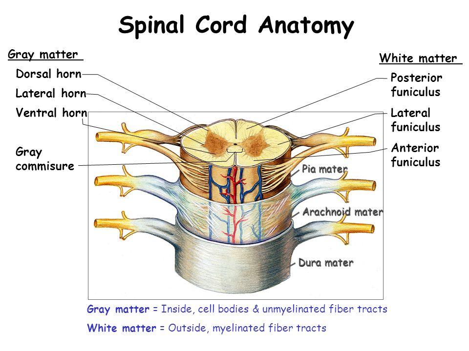 Groartig Spinal Tap Anatomy Ideen Menschliche Anatomie Bilder