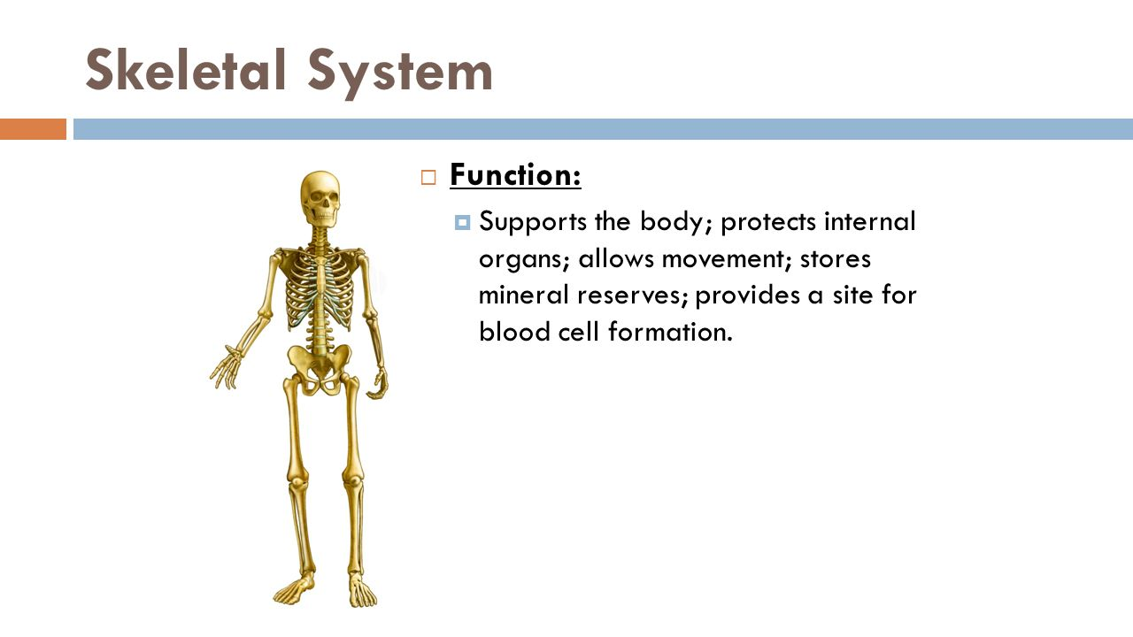 function of the skeletal system Medical anatomy and physiology unit four – skeletal system page 4 draft copy unit 4: skeletal system test review test review - key 1 list four functions of the.
