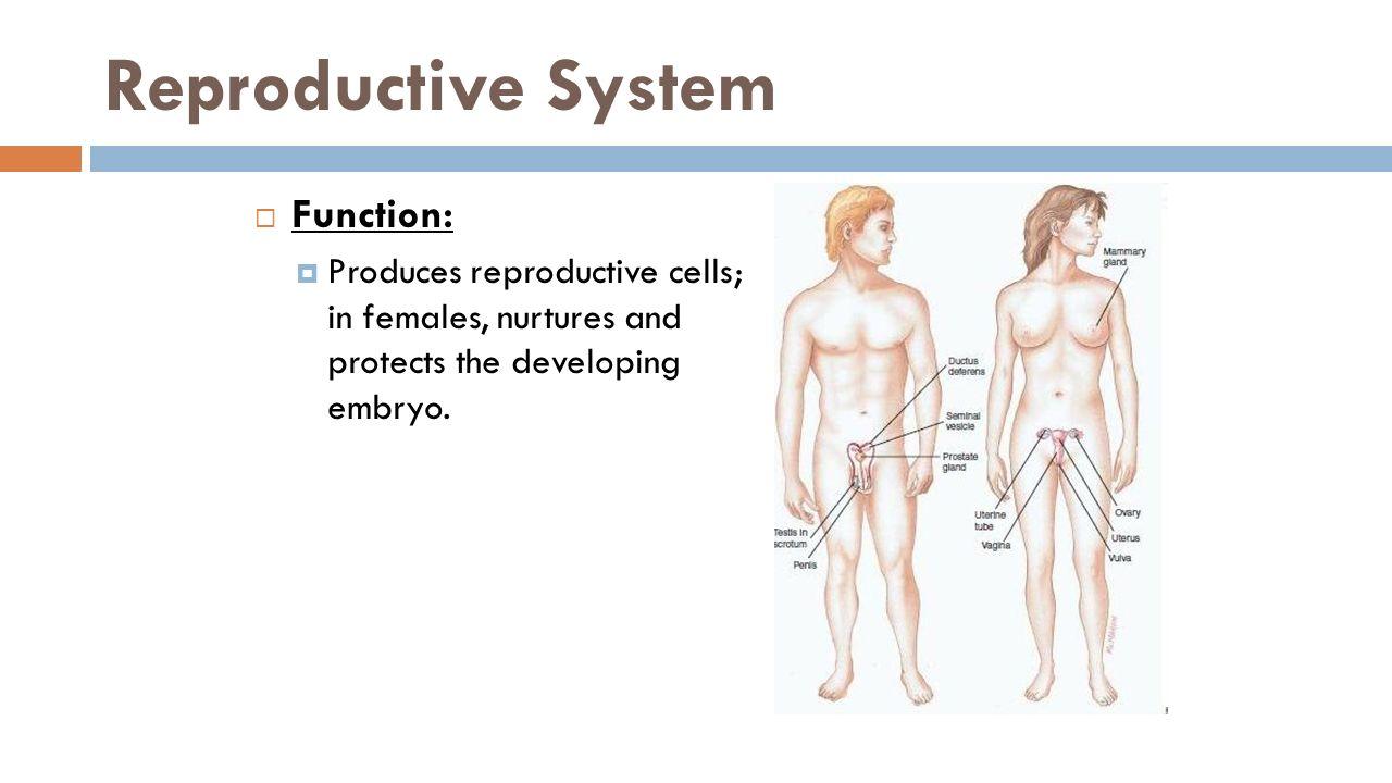 testosterone females