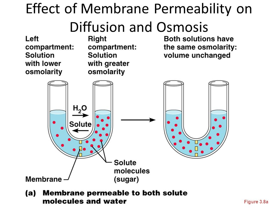 lab 1 diffusion osmosis experiment 1 2 concentration gradients and membrane permeability Depending on the permeability of a membrane osmosis experiment fill the bag with 2 ml of starch solution lab 3: osmosis and diffusion.
