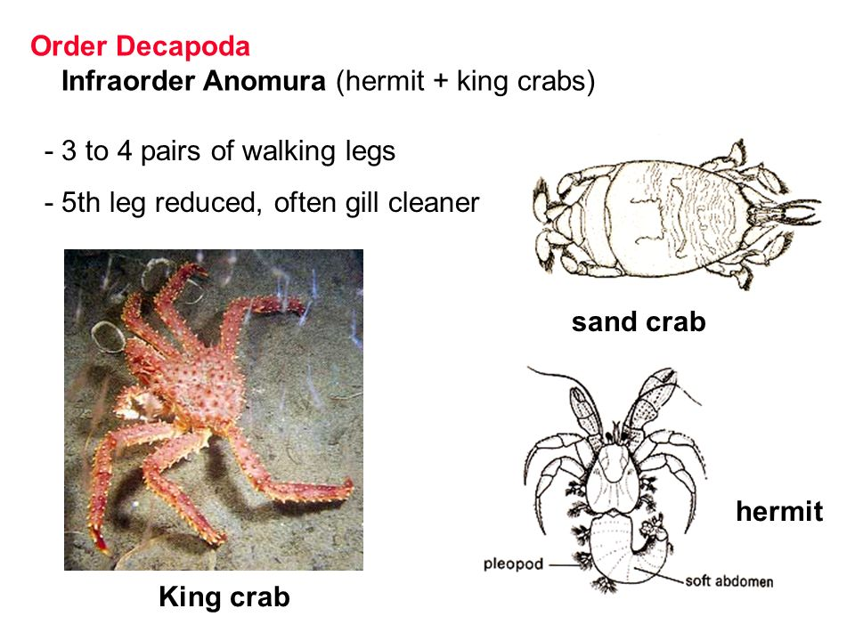 Dorable King Crab Anatomy Elaboration - Image of internal organs of ...