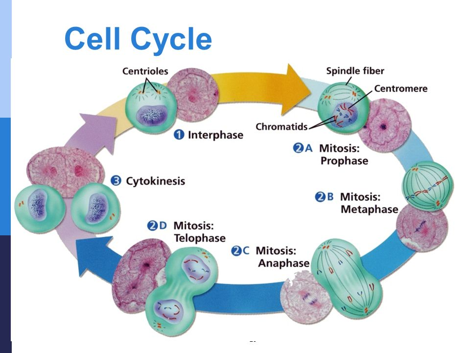 cell division animals mitosis cytokinesis and cell cycle Cytokinesis is technically a separate set of events to mitosis it describes the series of events seen when the cell splits into two this process starts as a cleavage furrow between the cells, making it look like the figure 8.