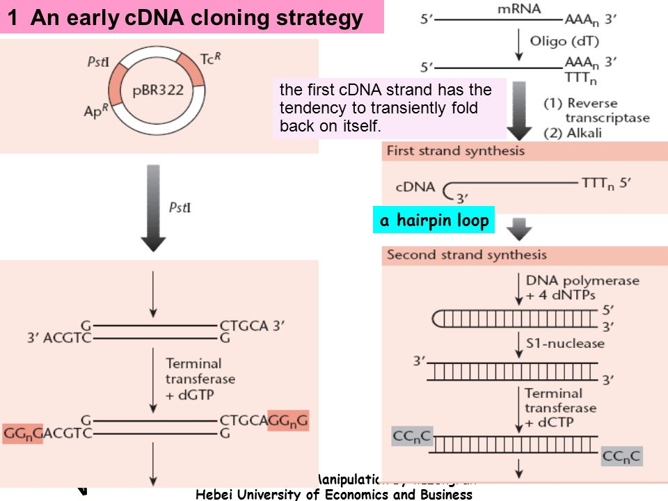 an overview of the process of cloning and the history of genetic manipulation − the law states that human cloning is prohibited, as is manipulating human cells or genetic materials by cloning in order to create an identical human being, pre.