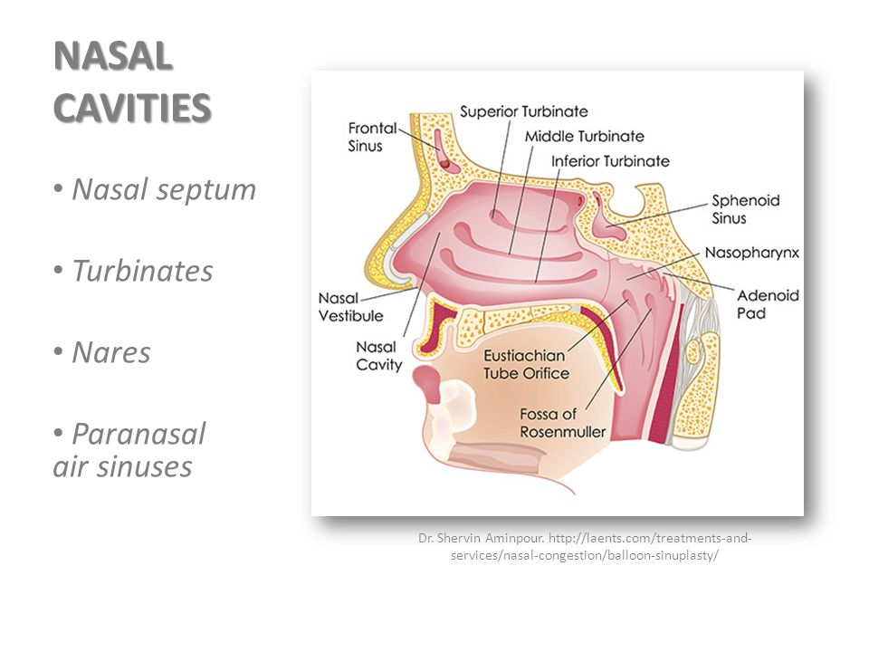 Dr pedro amarante andrade ph d ppt video online download for Floor of nasal cavity