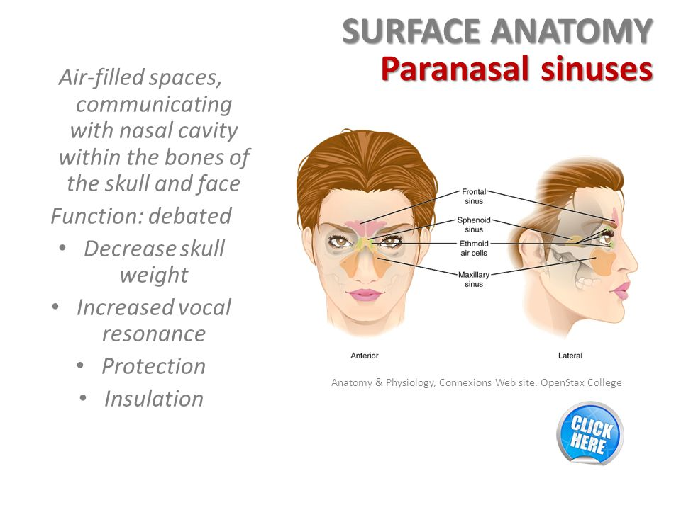 Dorable Surface Anatomy Nose Photo Anatomy And Physiology Biology