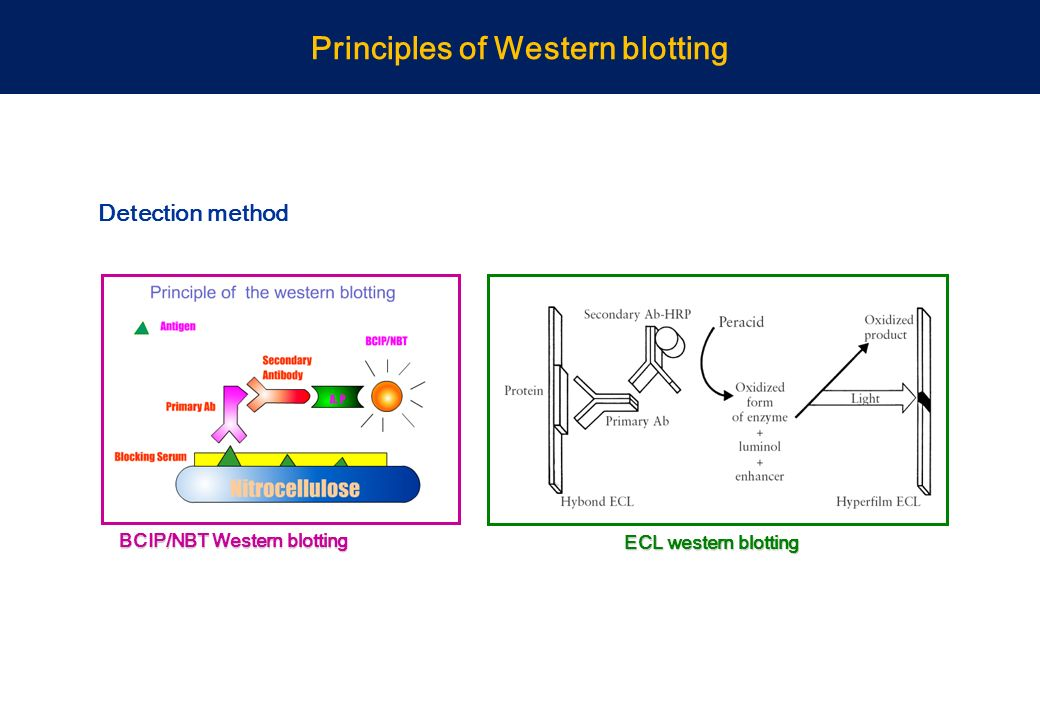 Western blot materials and methods thesis