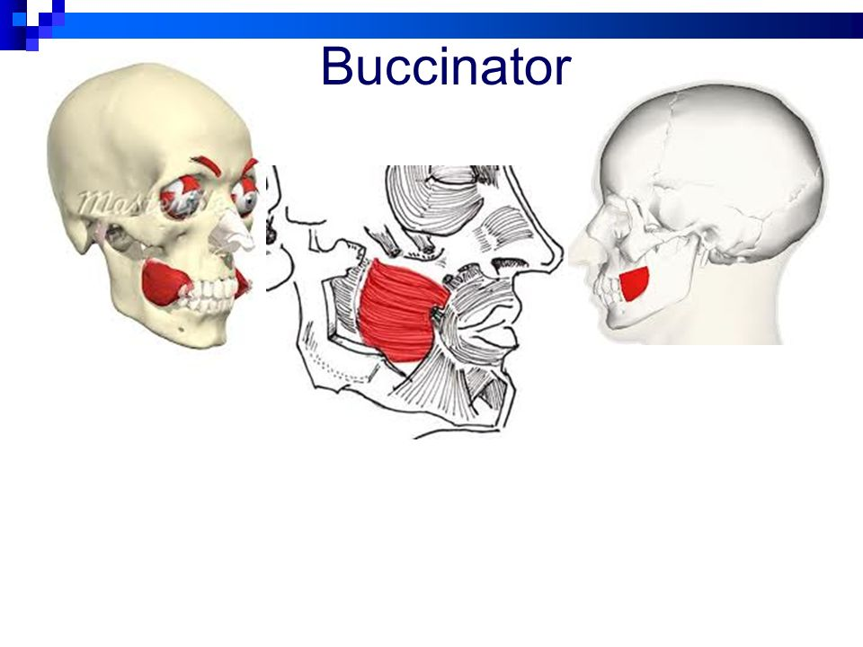 Set 1 Muscles Face, Head, and Neck - ppt video online download