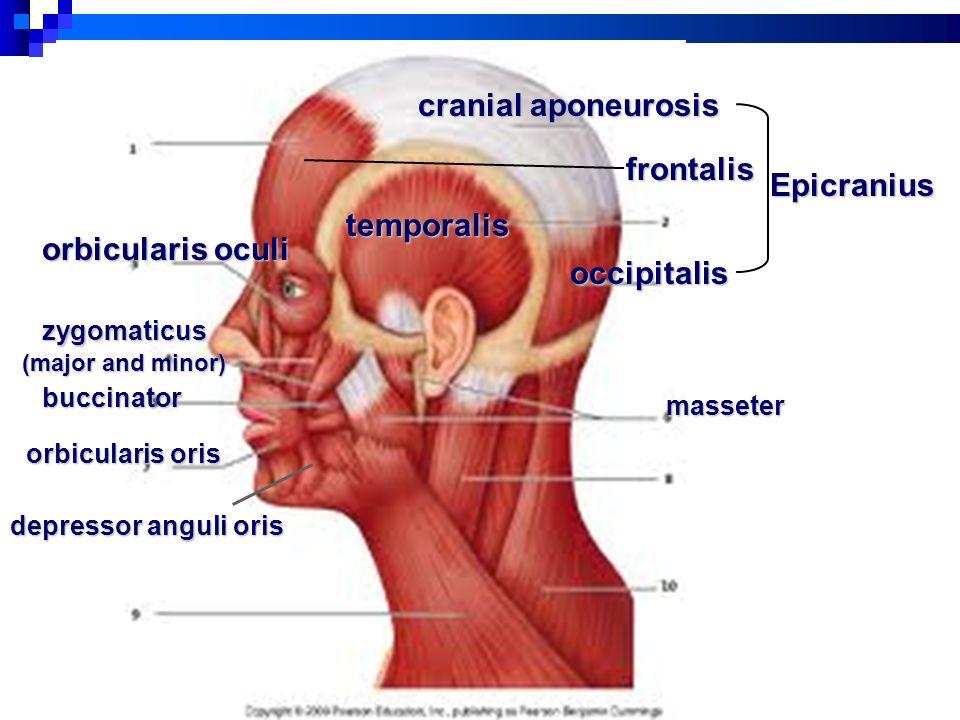 Beste Orbicularis Oculi Ideen Menschliche Anatomie Bilder