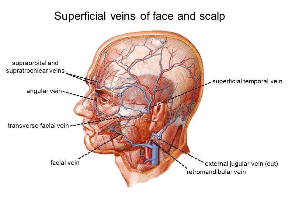 Scalp anatomy pictures