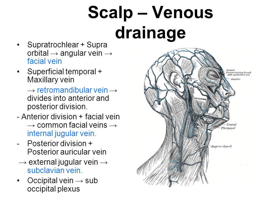 Scalp vein anatomy