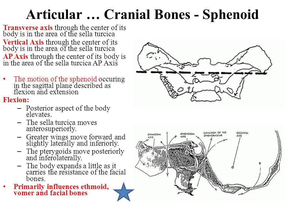 Articular … Cranial Bones - Sphenoid