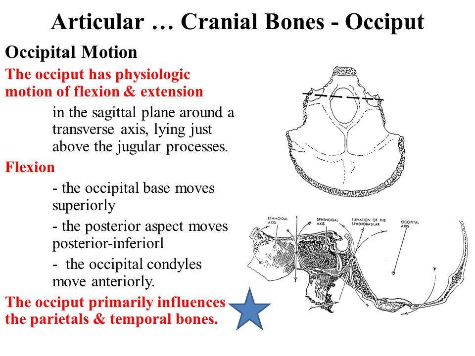 Articular … Cranial Bones - Occiput