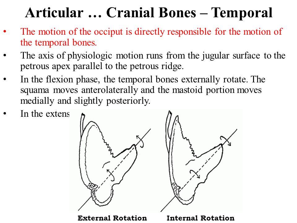 Articular … Cranial Bones – Temporal