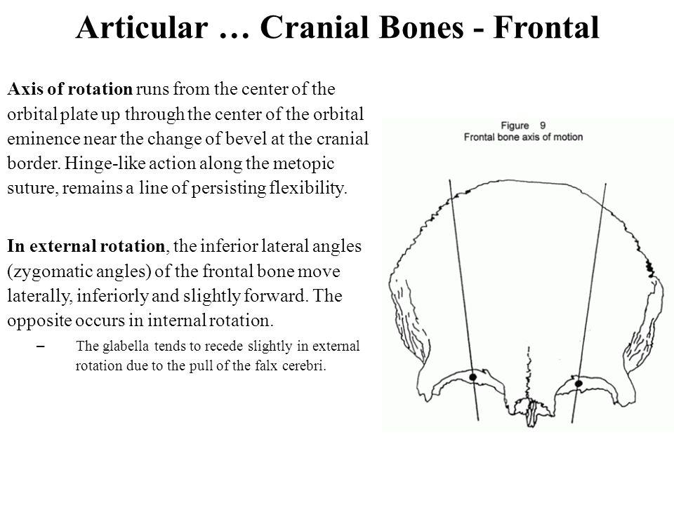Articular … Cranial Bones - Frontal