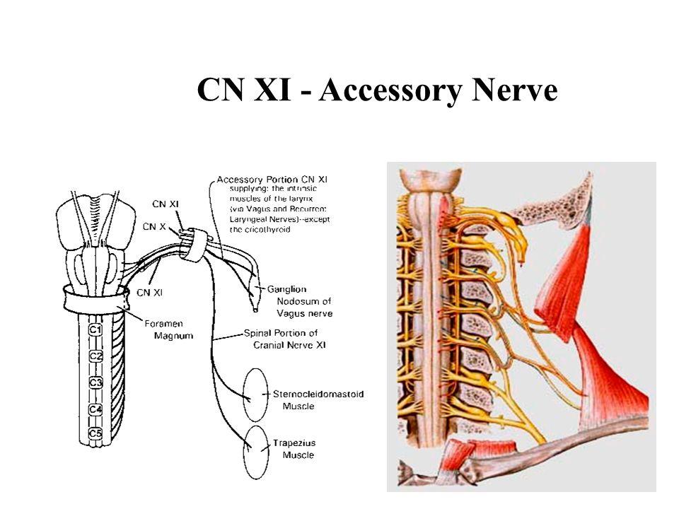 CN XI - Accessory Nerve