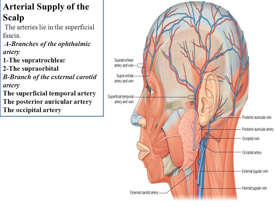 Atemberaubend Orbital Anatomie Definition Zeitgenössisch - Anatomie ...