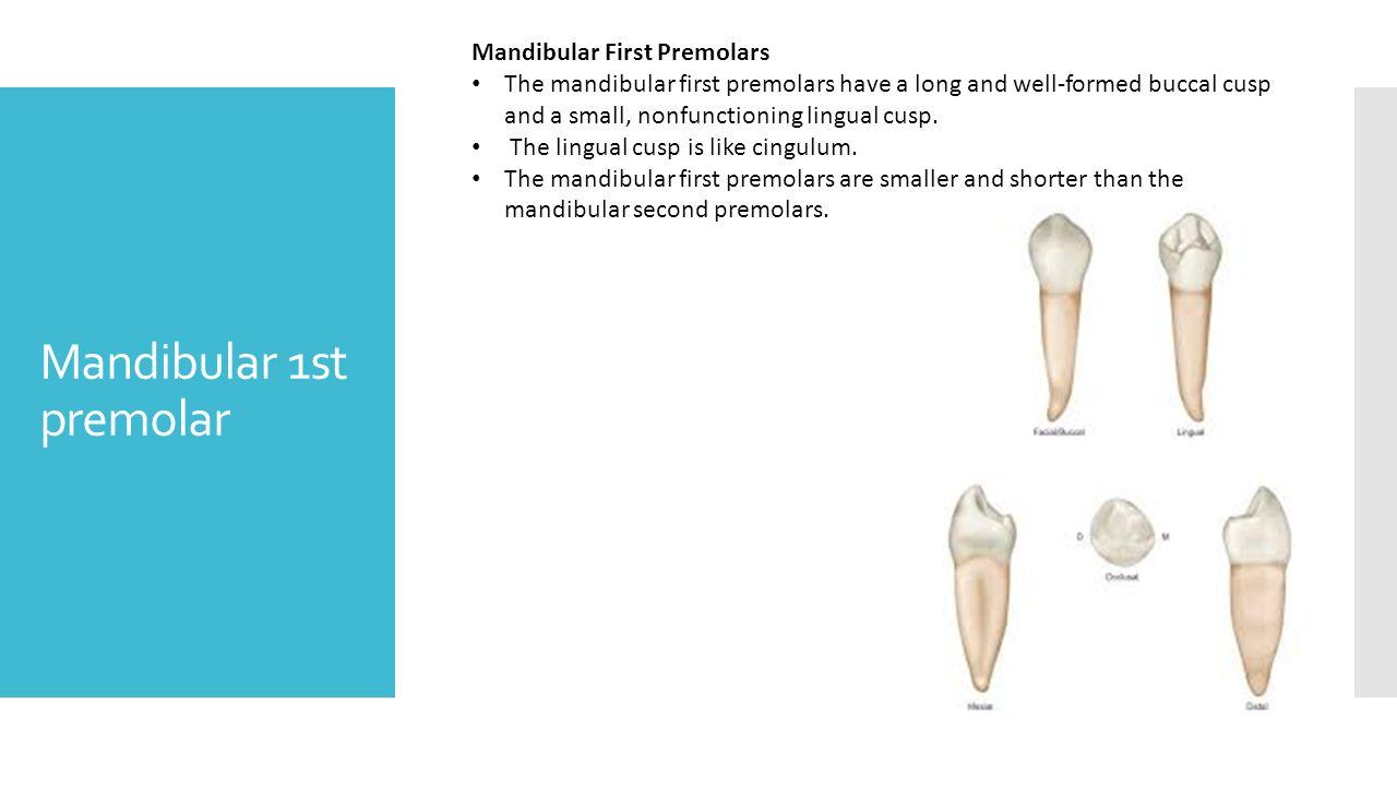 mandibular first molar