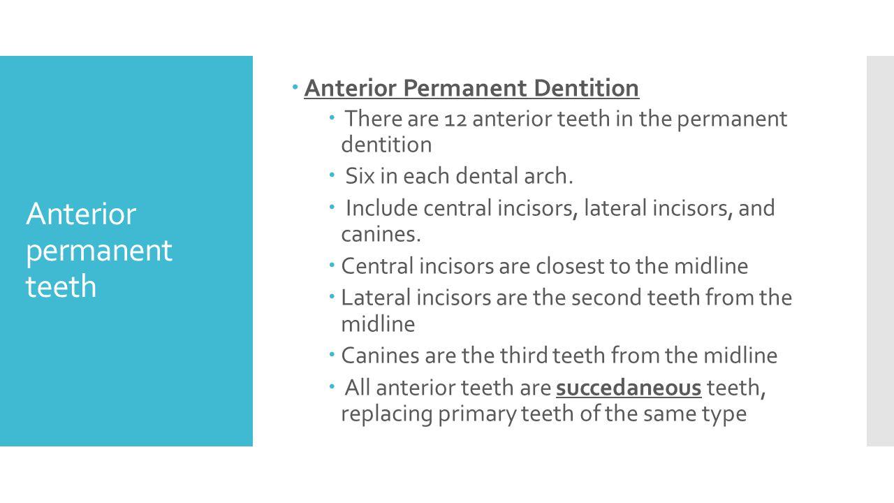 Magnífico Anatomy Of Permanent Teeth Composición - Imágenes de ...