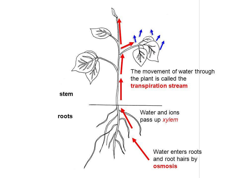 water movement in plants Water movement in plants: the tourney journey of h20 neve rechan 05/16/14 transpiration capillarity root pressure transpiration capillarity root pressure.