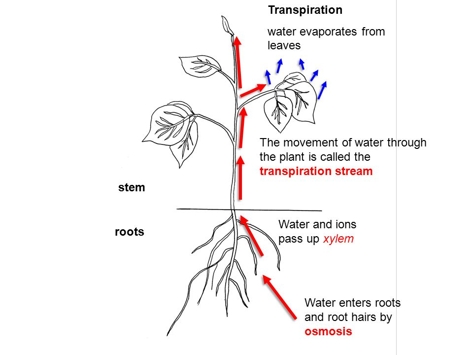 the pathways of plant water movement Short-distance transport in plants, the movement of water and solutes from one location to another within plant tissues and organs, is called lateral transport because its usual direction is along the radial axis of plant organs, rather than up or down the length of the plant.
