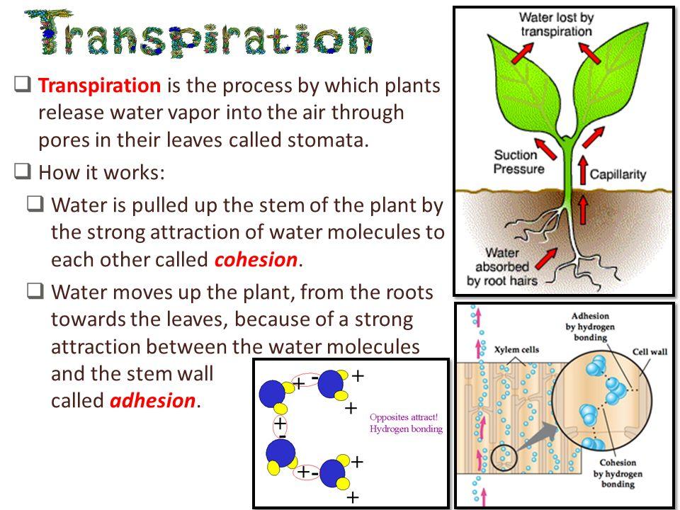 Plant Stomata Diagram Crazywidowfo