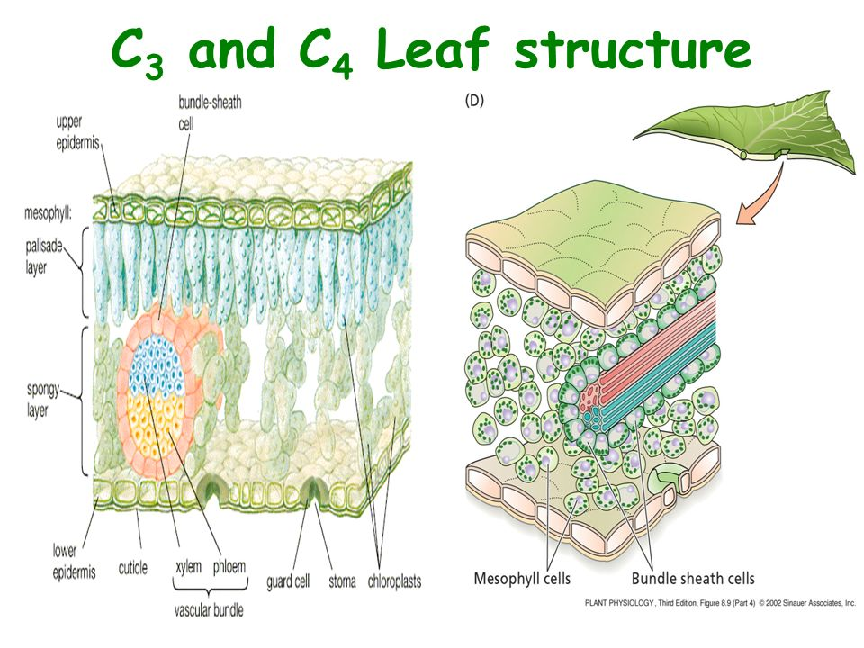 Leaf anatomy of c3 c4 and cam plants 3120035 - follow4more.info