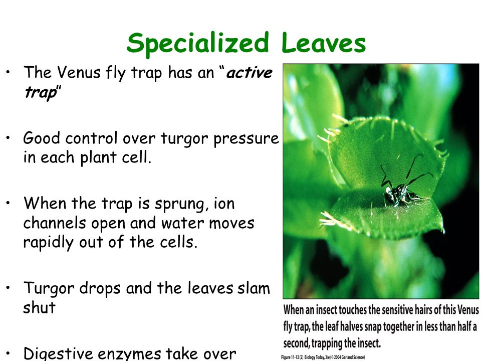 Leaves form and structure ppt video online download 36 figure 1112 2 specialized leaves the venus fly trap ccuart Choice Image