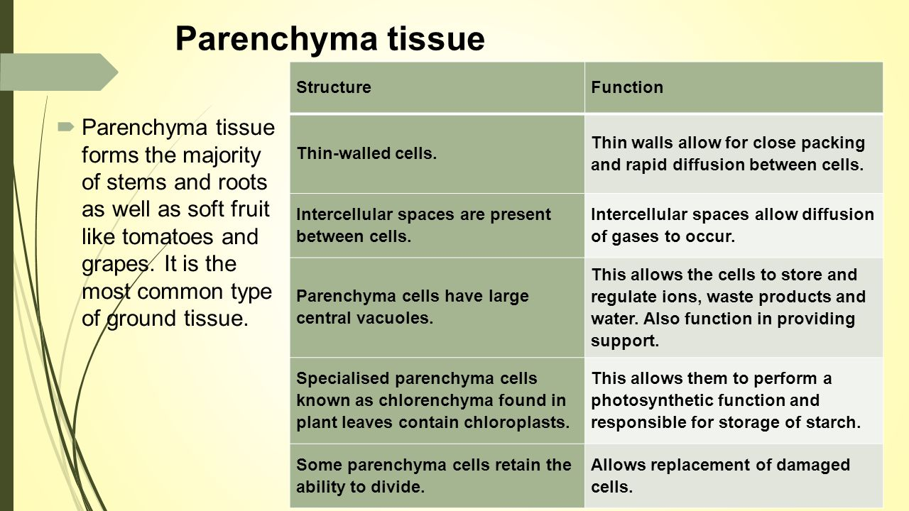 what is the function of parenchyma tissue Tissue system 2: parenchyma, collenchyma, and sclerenchyma3 parenchymal  cells (figure 47) function in photosynthesis and/or as storage sites various.