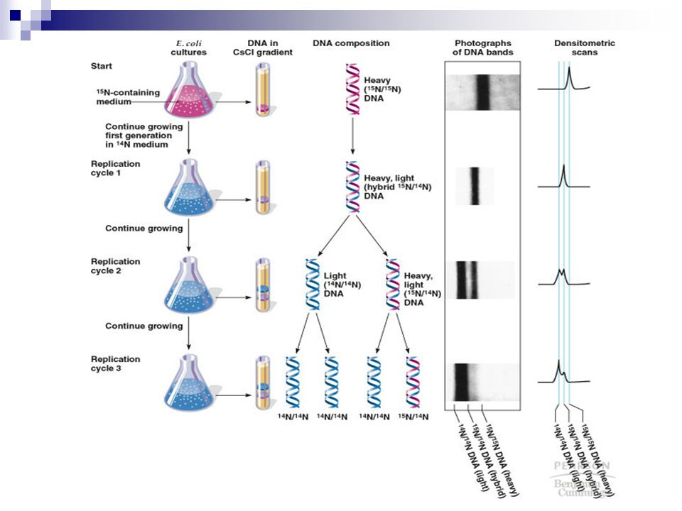 meselson stahl experiment Concept 3 review meselson and stahl's experiment proving the semiconservative model of dna replication meselson and stahl proved that the semiconservative model of dna replication was correct.